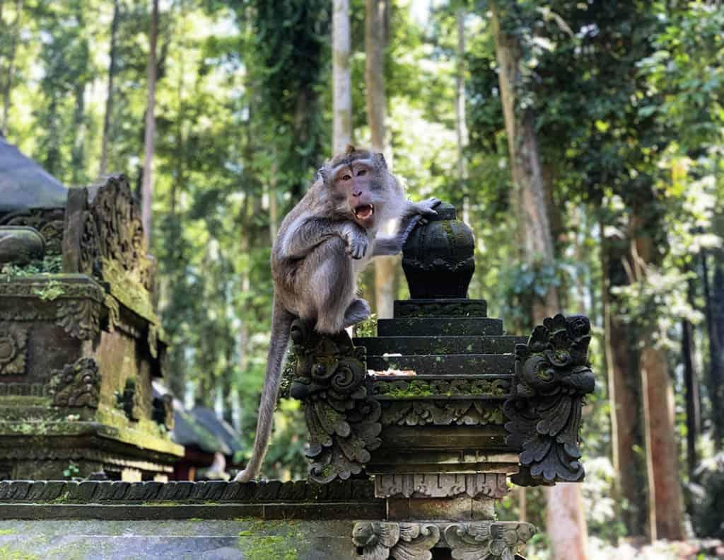 Monkey at Sangeh Monkey Forest in Bali