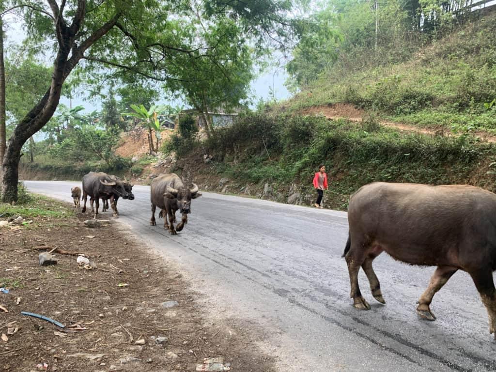 Waterbuffalo herd in the highlands of Vietnam along the Ha Giang motorbike loop