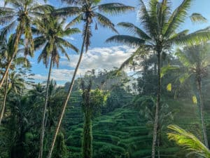 Tegalalang Rice Terrace early in the morning with palm trees in the foreground. Ubud,Bali,Indonesia